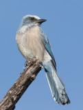 Florida Scrub-Jay (Aphelocoma coerulescens)