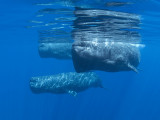 New! Sperm Whales