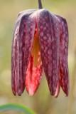 Wilde kievitsbloem