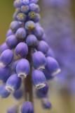 Blauwe druifjes 6