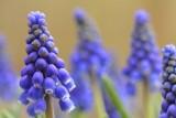 Blauwe druifjes 7