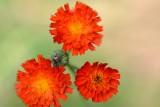 Oranje havikskruid