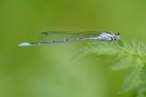 Azuurwaterjuffer