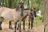 Koniks paarden