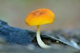 Gele aderhertenzwam