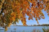 Populier in herfstkleuren