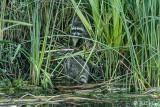 Raccoon   8