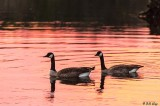 Canada Geese  24