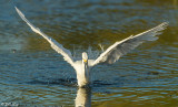 Snowy Egret  41