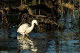 Snowy Egret 42
