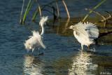 Snowy Egrets 43