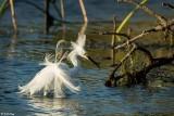 Snowy Egret 44