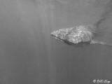 Whale Shark  17