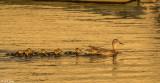 Mallard Ducks  12