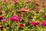 Flowers Sonoma  1
