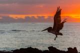 Brown Pelican, San Cristobal Island  1
