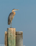 Great Blue Heron  19