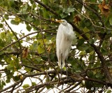 Great Egret  17