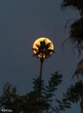 Full Moon Palm Tree  1