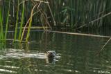 River Otter  3