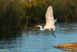 Great Egret  20