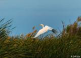 Great Egret  22