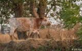 Kellogue Creek Cows  6