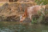 Kellogue Creek Cows  7