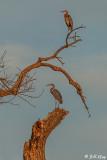 Great Blue Herons  22