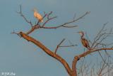 Great Blue Heron & Great Egret   23