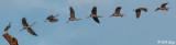 Great Blue Heron  -- composite  24