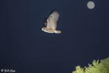 Great Horned Owl  3