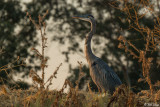 Great Blue Heron  25