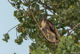 Swainson's Hawk  7