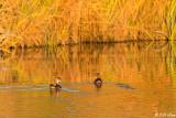 Wood Ducks  5