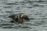 Double-Crested Cormorant  8