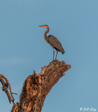 Great Blue Heron  26