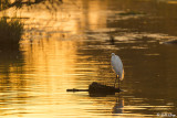 Great Egret Sunset  26