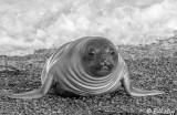 Southern Elephant Seal,  B&W 4a