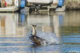 Sea Lion, Beaver Bay   4