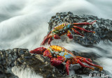 Sally Lightfoot Crabs  14