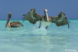 Brown Pelicans, Varadero  3