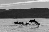 Common Dolphins, Los Gatos  1