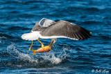 Yellow-Footed Gull with Goat Fish, Isla ILdefonso  2