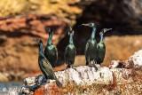 Neo-Tropic & Double Crested Cormorants, Isla ILdefonso  1