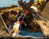 Heermann's Gulls & Elegant Terns, Isla Rasa  3