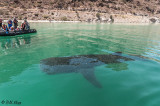 Whale Shark, Bahia Concepcion  1