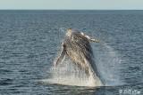 Humpback Whale, Sea of Cortez  5