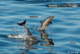 Common Dolphins, Sea of Cotez  2