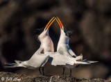 Mating Ritual Elegant Terns  1